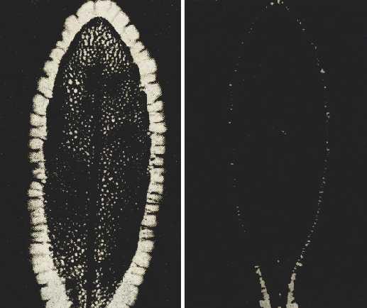 Две снимки на аура на листо - след откъсване и по-късно