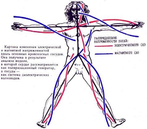 Електромагнитни полета в тялото по пътя на основните кръвоносни съдове.
